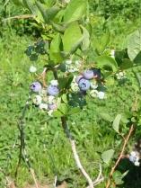 2013-06-11 blueberries 011